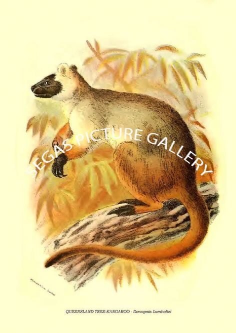 Fine art print of the COMMON RING-TAILED PHALANGER - Pseudochirus Peregrinus by Richard Lydekker 1896